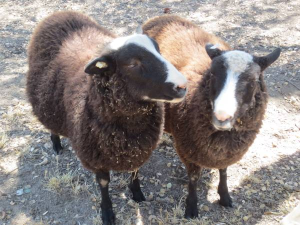 Bakersfield Sheep For Sale California